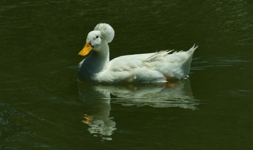Pretty Hairdo Duck 300 DPI No Watermark.jpg